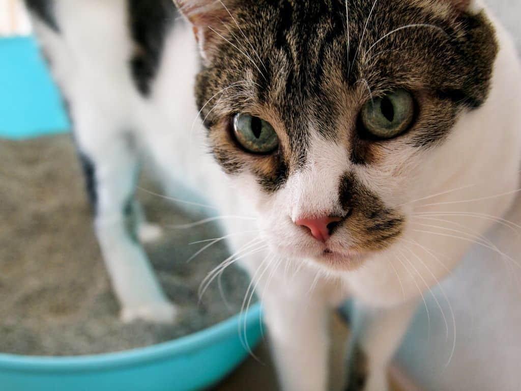 Dlaczego kot sika poza kuwetą