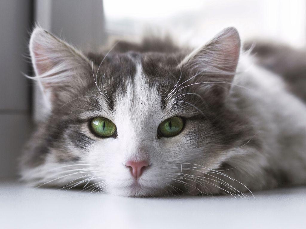 Dorosły kot i nauka korzystania z kuwety