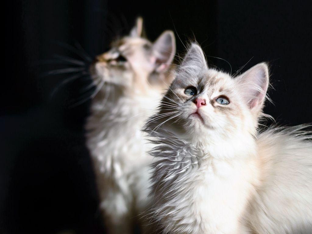 Jak wprowadzić małego kota do nowego domu