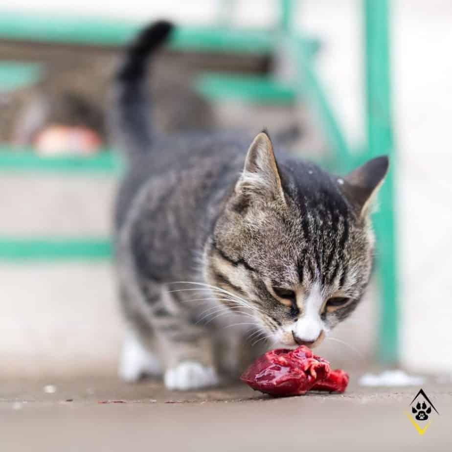 Kot jedzący mięso mokra karma