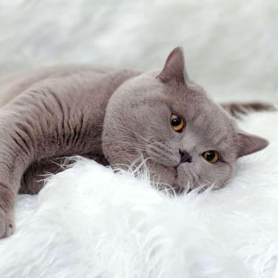 Jaka karma dla kota brytyjskiego?